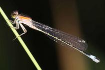 """Großen Pechlibelle, Ischnura elegans, Weibchen in der Jugendform """"rufescens""""."""