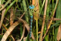 Ein erwachsenes Männchen der Grünen Mosaikjungfer, Aeshna viridis, (1)