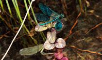 Die Eiablage der Gebänderten Prachtlibelle, calopteryx splendens, (2)