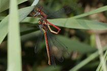 Frühe Adonislibelle, Pyrrhosoma nymphula, Füllen des sekundären Geschlechtsteils des Männchens mit angekoppeltem Weibchen.