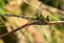 Grüne Flussjungfer, Ophiogomphus cecilia, erwachsenes Weibchen (2).