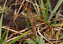 Weibchen der Gefleckten Heidelibelle, Sympetrum flaveolum (3).