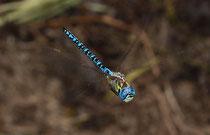 Südliche Mosaikjungfer, Aeshna affinis, Männchen auf Patrouillenflug 4