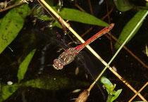 Gemeine Heidelibelle, Sympetrum vulgatum, einzelnes Weibchen bei der Eiablage (1).