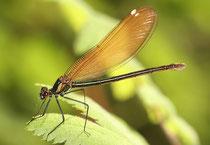 Gebänderte Prachtlibelle, Calopteryx splendens, junges Weibchen.