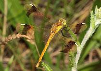 Gebänderte Heidelibelle, Sympetrum pedemontanum, junges Weibchen (1).