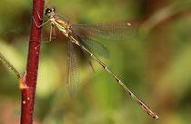 Gemeine Weidenjungfer, Chalcolestes viridis, reifes Männchen.