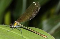 Gebänderte Prachtlibelle, Calopteryx splendens, erwachsenes Weibchen (3).