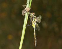Gefleckte Smaragdlibelle, Somatochlora flavomaculata, Männchen mit Exuvie (1).