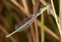 Kleine Pechlibelle, Ischnura pumilio, erwachsenes Weibchen in grüner Variante.