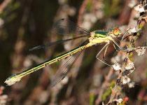 Glänzende Binsenjungfer, Lestes dryas, junges Weibchen.