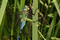 Großer Blaupfeil (Weibchen) als Beute einer Großen Königslibelle (Anax imperator).
