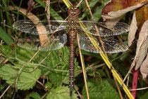 Herbst-Mosaikjungfer, Aeshna mixta, erwachsenes Weibchen (3).