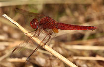 Ein androchromes (männchenfarbenes) Weibchen der Feuerlibelle (1).
