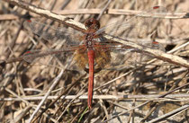 Gefleckte Heidelibelle, Sympetrum flaveolum, adultes Männchen in der Draufsicht (1).