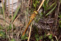 Große Heidelibelle, Sympetrum striolatum, sehr junges Männchen.