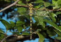 Zweigestreifte Quelljungfer, Cordulegaster boltonii, junges Weibchen.