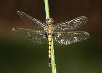 Große Moosjungfer, Leucorrhinia pectoralis, juveniles Männchen nach einem Platzregen.