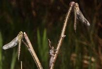 Früher Schilfjäger, Brachytron pratense, Männchen (links) und Weibchen beim Schlupf.
