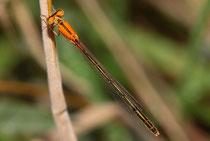 """Kleine Pechlibelle, Ischnura pumilio, junges Weibchen der """"forma aurantiaca"""" (1)."""