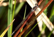 Fledermaus - Azurjungfer, Coenagrion pulchellum, junges Weibchen.