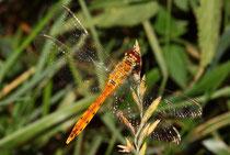 Sumpf-Heidelibelle, Sympetrum depressiusculum, junges Männchen.