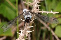 Spitzenfleck, Libellula fulva, Männchen in der Frontalansicht.