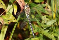 Herbst-Mosaikjungfer, Aeshna mixta, erwachsenes Männchen (2).