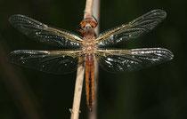 Spitzenfleck, Libellula fulva, frisch geschlüpftes Männchen.