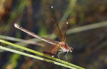 """Ein Weibchen der Bronzenen Prachtlibelle, Calopteryx haemorrhoidalis,  beim """"wing clapping"""" als Schutz vor Überhitzung."""