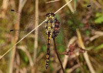 Schwarze Heidelibelle, Sympetrum danae, junges Männchen.