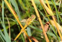 Gemeine Heidelibelle, Sympetrum vulgatum, junges Männchen.