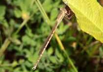 Gemeine Winterlibelle, Sympecma fusca, junges Männchen (1).