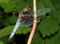 Plattbauch, Libellula depressa, erwachsenes Männchen.