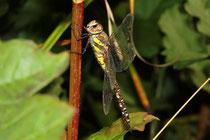 Herbst-Mosaikjungfer, Aeshna mixta, erwachsenes Weibchen (2).