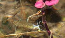 Hier ist das Weibchen schon vollständig unter Wasser.