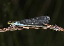 Kleines Granatauge, Erythromma viridulum, erwachsenes Weibchen (3).