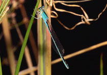 Kleine Pechlibelle, Ischnura pumilio, erwachsenes Weibchen in blauer Variante.