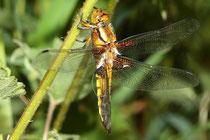 Plattbauch, Libellula depressa, juveniles Männchen.