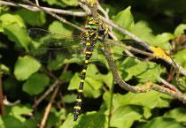 Zweigestreifte Quelljungfer, Ssp. Cordulegaster boltonii immaculifrons, erwachsenes Männchen (2).