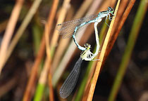 Speer - Azurjungfer, Coenagrion hastulatum, Kopula.