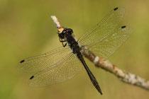 Schwarze Heidelibelle, Sympetrum danae, erwachsenes, ausgefärbtes Männchen.