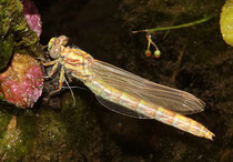 Große Zangenlibelle, Onychogomphus uncatus, frisch geschlüpftes Weibchen.