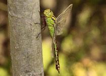 Grüne Mosaikjungfer, Aeshna viridis, erwachsenes Weibchen (2).