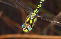 Blaugrüne Mosaikjungfer, Aeshna cyanea, Männchen im Sturzflug.