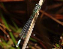 Hauben - Azurjungfer, Coenagrion armatum, erwachsenes Männchen (4).