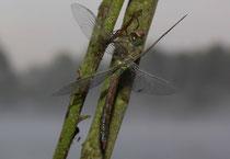 Ein frisch geschlüpftes Weibchen der Kleinen Königslibelle, Anax parthenope, vor dem Jungfernflug (2).