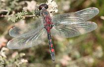 Nordische Moosjungfer, Leucorrhinia rubicunda, Männchen. Beachte die roten Flügelmale.