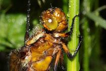 Plattbauch, Libellula depressa, Kopfstudie eines jungen Weibchens im Regen.