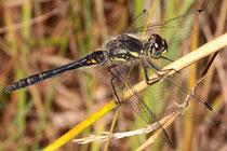 Schwarze Heidelibelle, Sympetrum danae, beinahe ausgefärbtes Männchen.